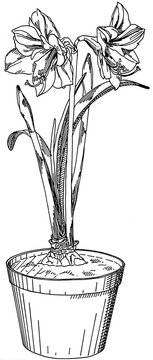 Amarylis with two flowers in a pot, hand drawn in black and white