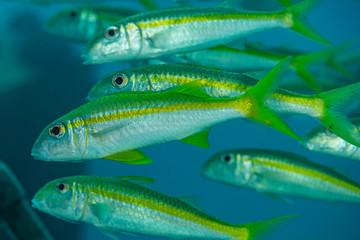 school of yellowfin goatfish fish yellow