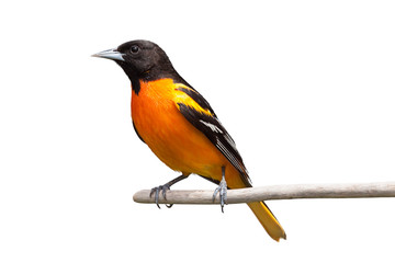 Baltimore Oriole on White Background