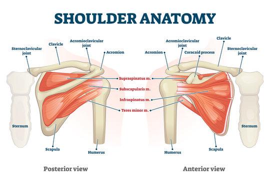 Shoulder anatomy vector illustration. Labeled skeleton and muscle scheme.