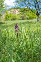 Orchis purpurea Purpur-Knabenkraut auf einer Wiese unterhalb der Zietschkuppe Löberschütz Golmsdorf Jena