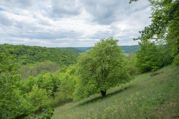 Sorbus torminalis Elsbeere im Naturschutzgebiet Gleistalhänge bei Löberschütz Beutnitz Graitschen Jena Golmsdorf
