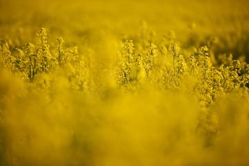 Żółte kwiaty rzepaku