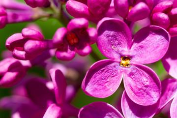 Wall Mural - Blooming lilac flower super macro