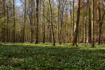 Wall Mural - Early spring forest with flowering anemone