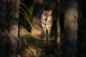 Photo sur Plexiglas Loup Wolf (Canis lupus) stay on the rock. Calm wolf has a rest on the rock. Hidden predator in the forest