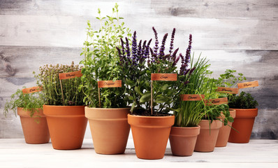 Homegrown and aromatic herbs in old clay pots. Set of culinary herbs. Green growing basil, parsley and oregano with labels