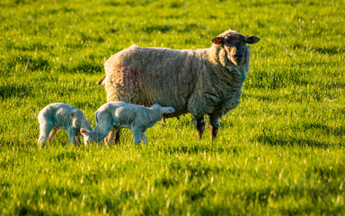 Sheep family in rural countryside, two lambs and their mother walking together grazing on grass, english farmland agriculture, white baby sheeps on free range farm