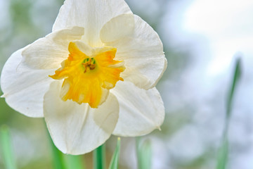 Photo on textile frame Narcissus narcis close-up