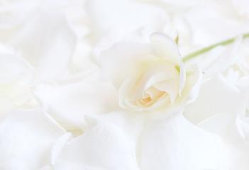 White tender rose on white rose petals - high key image (manual focus)