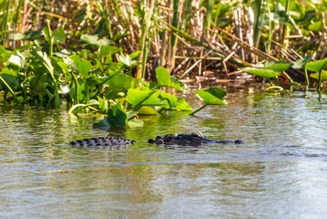Alligator floating on the water in Everglades National Park, Florida Wetland, USA