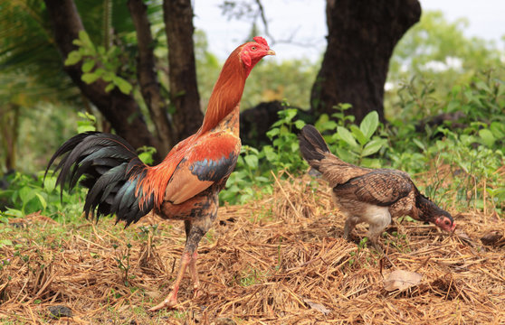 Pair of domestic rooster and chicken ayam in Java