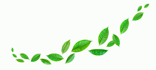 Wall Mural - fresh green tea plant leaf on white background for design elements, Flat lay