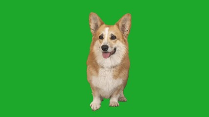 Fototapete - welsh corgi dog stands and looks and looks on a green screen