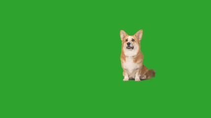 Fototapete - Welsh Corgi dog looks up and down on a green screen