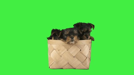 Fototapete - three yorkshire terrier puppies in a wicker basket on a green screen