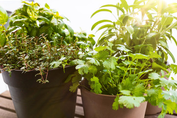 growing herbs on porch or balcony, close-up of potted basil, thyme, sage and coriander plants