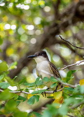 Flycatcher in Queen Elizabeth II Botanic Park, North Side, Grand Cayman, Cayman Islands