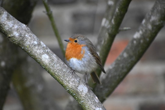 Male and female adult robins have orange breast brown upper parts. Despite cute appearance they are aggressively territorial and drive away intruders They sing at night in London next to street lights