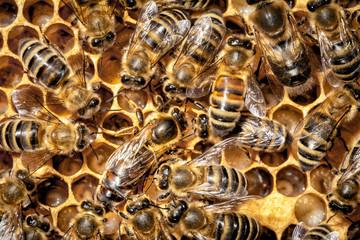 Arbeiterinnen und Königin im Bienenstock