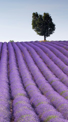 View Of Lavender Growing On Field Against Sky
