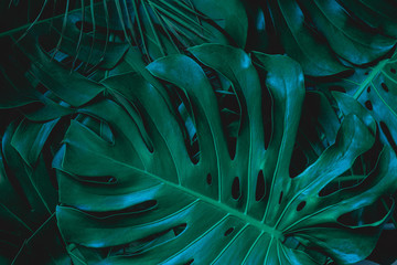 Wall Mural - closeup nature view of green monstera leaf background. Flat lay, dark nature concept, tropical leaf