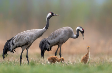 Common grane ( Grus grus ) family with two babies