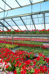 glass house with geranium plantation