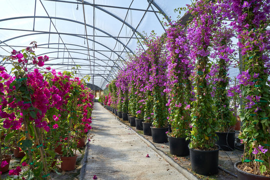 glass house in garden center with bougainvillea