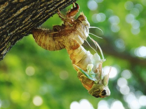 Close-up Of Cicada Molting From Shell On Tree Trunk