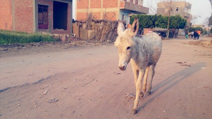 Donkey Walking On Dirt Road Of Village