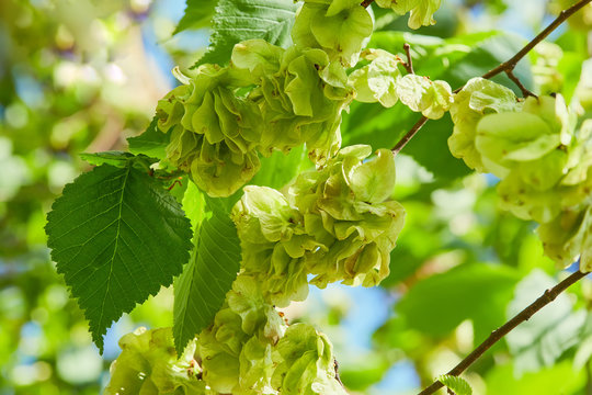 Ulmus minor or Elm tree in the suny day in spring. Elm is a deciduous and semi-deciduous tree comprising the flowering plant.