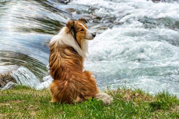 Schöner Lnghaarcollie wartet sehnsüchtig aufs Herrchen / Frauchen am Fluss