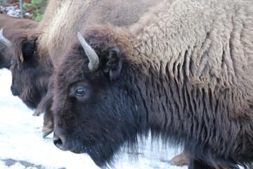 Fototapeta american bison in yellowstone