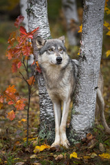 Wall Mural - Grey Wolf (Canis lupus) Wedged Between Trees Looks Out and Up One Ear Back Autumn