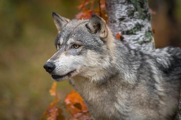 Wall Mural - Grey Wolf (Canis lupus) Head Between Trees Mouth Slightly Open Left Autumn