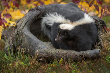 Wall Mural - Striped Skunk (Mephitis mephitis) Curls Up Inside Log Autumn