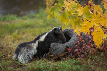 Wall Mural - Striped Skunk (Mephitis mephitis) Steps Up Into Log Autumn