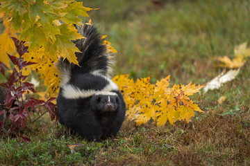 Wall Mural - Striped Skunk (Mephitis mephitis) Stands Near Leaves Tail Raises Looking Out Autumn