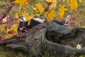 Wall Mural - Striped Skunk (Mephitis mephitis) Peeks Out Between Leaves Behind Log Autumn