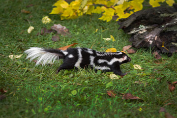 Wall Mural - Eastern Spotted Skunk (Spilogale putorius) Runs Right Towards Log Autumn
