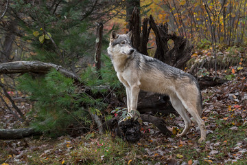 Wall Mural - Grey Wolf (Canis lupus) Paws Up Looks Over Shoulder to Right Autumn