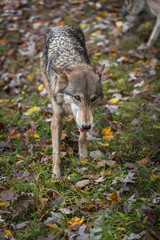 Wall Mural - Grey Wolf (Canis lupus) Steps Forward Eating Piece of Grass Autumn