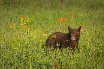 Wall Mural - Black Bear Cub (Ursus americanus) Stands in Field of Widlflowers Summer