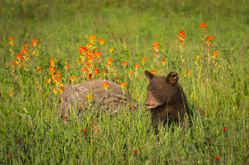 Wall Mural - Black Bear Cub (Ursus americanus) Sits in Grass Near Log and Wildflowers Summer