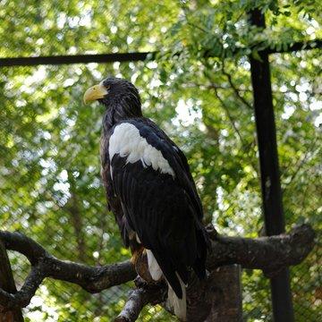 Stellers Sea Eagle Perching On Tree In Zoo