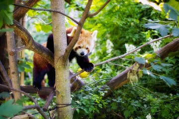 Autocollant pour porte Panda Red Panda On Branch Of Tree