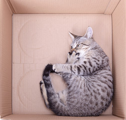 young Scottish straight striped grey cat playing in a box