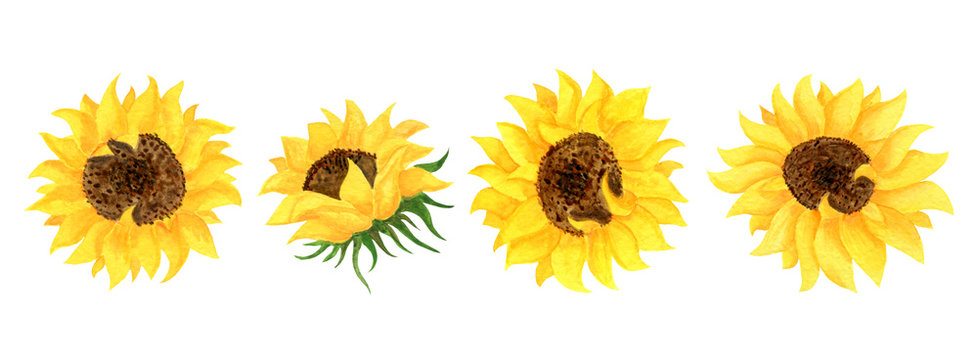 Set of yellow sunflower flowers on a white background. Botanical watercolor illustration. Clipart for the design of invitations and cards.