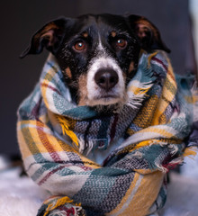 dog posing with a brightly colored scarf on dark background